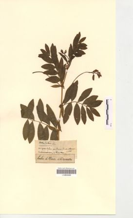 Lathyrus occidentalis (Fisch. & C.A.Mey.) Fritsch subsp. occidentalis [Orobus luteus L]