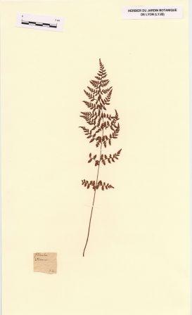 Cystopteris fragilis (L.) Bernh. [Filicula (nom pré-linnéen)]