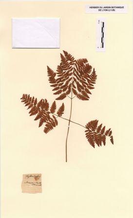 Gymnocarpium dryopteris (L.) Newm. [Polypodium dryopteris L.]