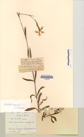 Dianthus superbus L. subsp. superbus